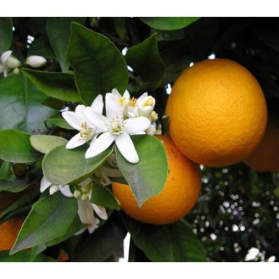 Citrus Aurantium - Estimula a perda de peso e aumenta a massa muscular